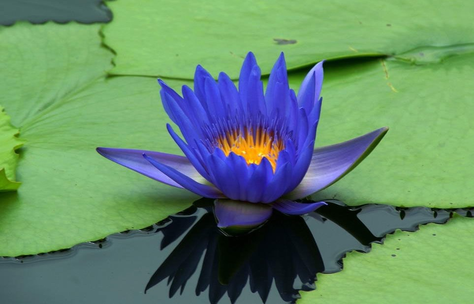 Blue lotus extract nymphaea nouchali varerulea youngevity blue lotus extract nymphaea nouchali varerulea mightylinksfo